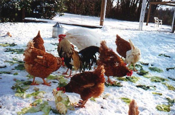 Что делать, чтобы куры хорошо неслись зимой! Случается что в какой-то период, особенно зимний, продуктивность кур падает, то есть количество яиц сокращается. Эта проблема встречается обычно у