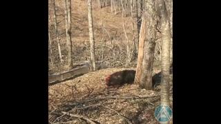 В Артеме стая диких собак загрызла дикого кабана и наводит страх на горожан