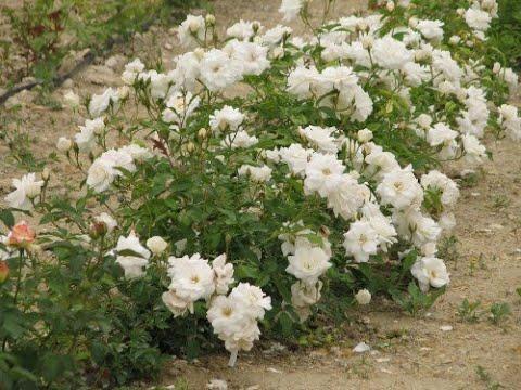 обрезка розы флорибунда питомник роз полины козловой pruning a floribund rose