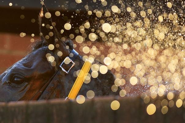 Лошадь облитая водой после гонки в Muswellbroo Race Club (Масвелбрук, Австралия) Фото: Mar Evans