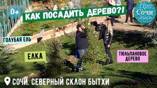 Сочи ➤Как посадить дерево?! ➤Посадка ели ✔тюльпанового дерева осенью в Сочи на Бытхе 🔵Просочились