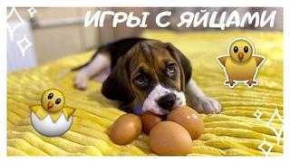 Собака Пытается Разбить Яйцо / Dog Trying to Break an Egg