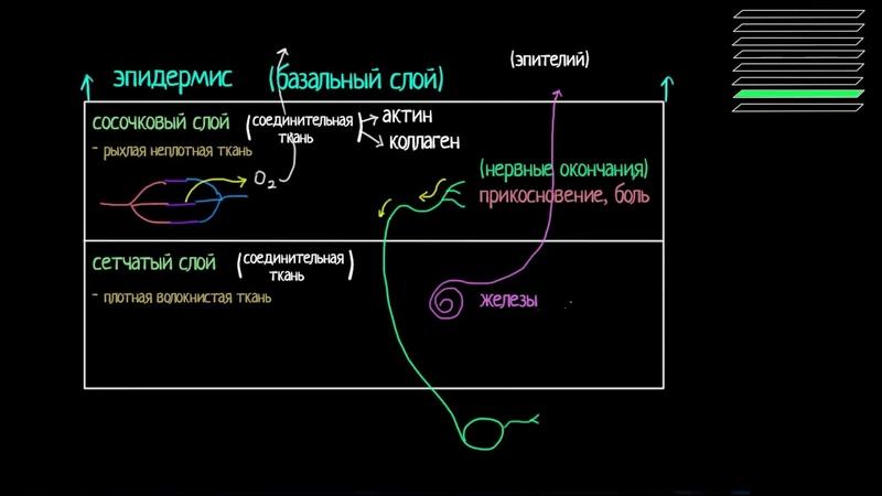 Строение дермы и подкожно жировой клетчатки видео 3 Анатомия человека Биология