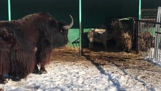 Подрос малыш в семействе яков! Тайган The baby-yak has grown up in the yak family! Taigan