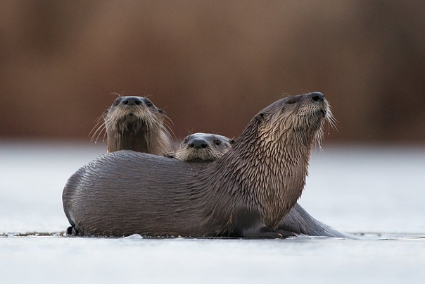 «Скользи!»: зимние забавы речной выдры. Канадские выдры катаются на брюхе по необходимости и без.Речные выдры очень подвижны, и, если это необходимо, за день они могут проделать расстояние в 42