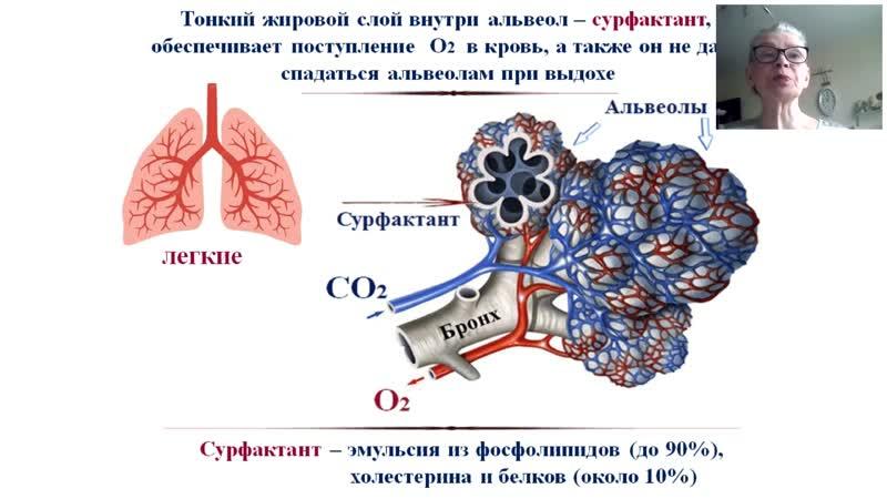 Байкуловой Н Г о роли сурфактанта в легочном дыхании