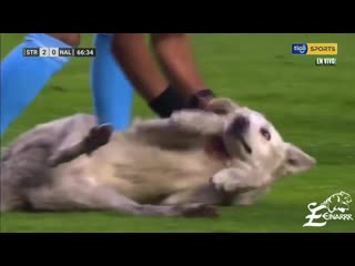 A dog wanted to play in the Bolivian Soccer