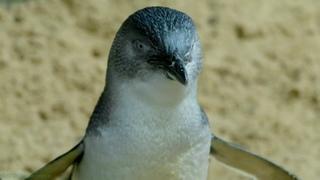 «Дикие птицы Австралии (1). Малый пингвин» (Познавательный, природа, орнитология, животные, 2016)