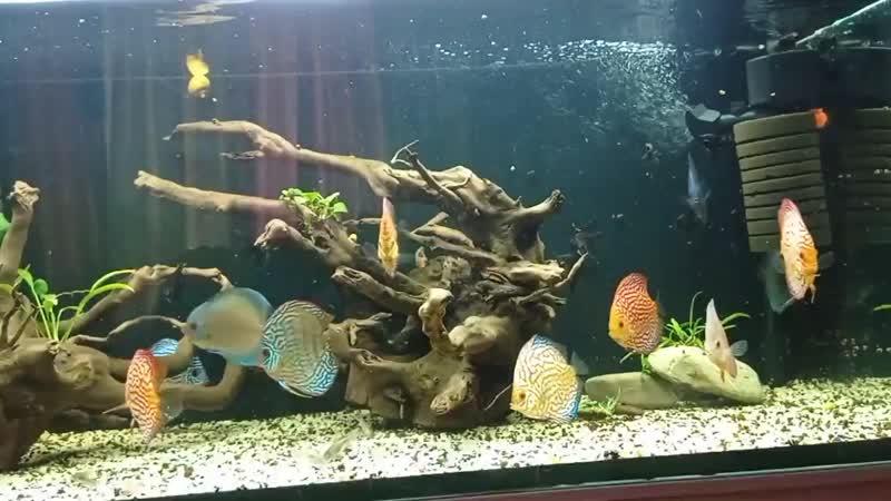 мой аквариум с дискусами