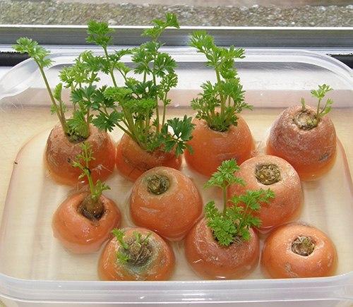 ЗАНИМАТЕЛЬНЫЕ ОПЫТЫ ДЛЯ ДЕТЕЙ Сегодня мы хотим рассказать вам об опытах с проращиванием корнеплодов. Корнеплод - это видоизмененный корень, в котором накапливаются питательные вещества. Морковь,