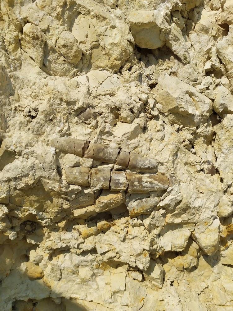 Ростры белемнитов и бакулиты в породе