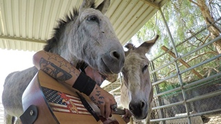 Tow Jealous Donkeys Trying to Compete for all the attention. Amazing Grace might cure the tension