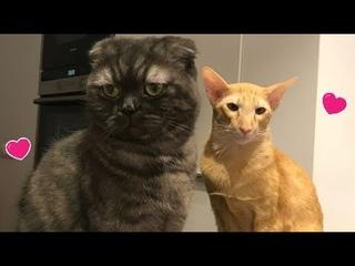 Scottish Fold Cat vs Oriental Shorthair Cat : Cat Fight