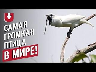 Как звучит самая громкая птица в мире