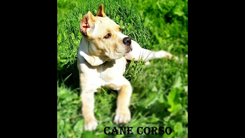 CANE CORSO КАНЕ КОРСО ЩЕНКИ Райт Cane Corso puppy
