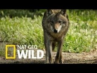 Дикие охотники.  Волки и шакалы. Nat Geo Wild