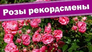 Бордюрные розы бьют рекорды. Как обрезать бордюрные розы и получить пышное цветение