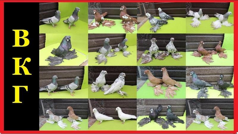 ГОЛУБИ АДМИНИСТРАТОРА КАНАЛА l Admin Pigeons Collection