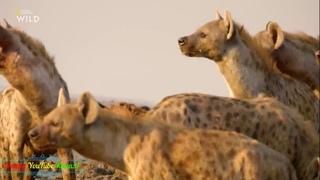 Гиены и другие животные дикой природы!