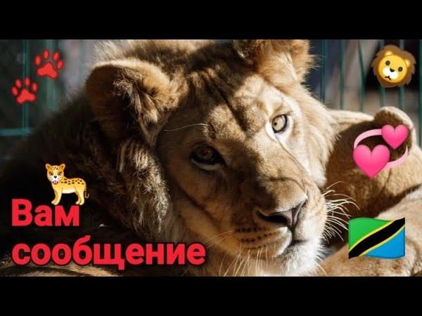 🦁 Друзья‼️🐾 Вам сообщение от львёнка СИМБЫ в описании под видео ⤵️
