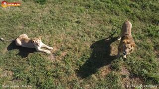 Перекрестная охота - львы и дрон охотятся друг на друга. Тайган. Lions life in Taigan. DJI drone
