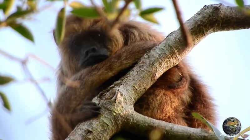 Мир Приключений Дикие животные Пантанала Обезьяны ревуны и капуцины Гигантские выдры и ягуары