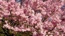 Cherry Blossoms Harumeki-zakura in the Rice Fields