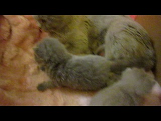 Мои шотландские котятки)