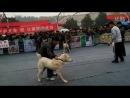Собачьи бои Гуль донг VS алабай