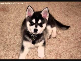 Все породы собак.Аляскинский Кли Кай(Alaskan Klee Kai)