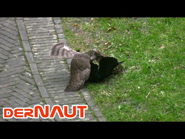 Sparrow Hawk vs Jackdaw Sperber vs Dohle
