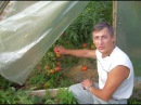 Помидоры в теплице общие принципы выращивания и хороший урожай