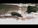 Охота на кабана 2016. Подборка выстрелов Франца Альбрехта