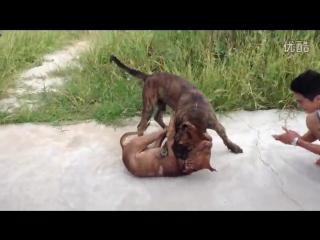 Канарский дог Vs Питбуль (Fighting Dogs) Собачьи бои: Presa Canario против Pitbull