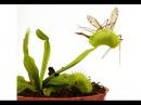 ДИОНЕЯ или ВЕНЕРИНА МУХОЛОВКА. Насекомоядное растение ест насекомых