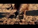 BBC Ребятам о зверятах все серии Кенгуру