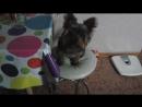 Мой пёс Вилли хочет поесть новенького
