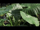 Colocasia et Alocasia