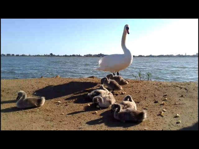 Лебеди вывели птенцов погулять