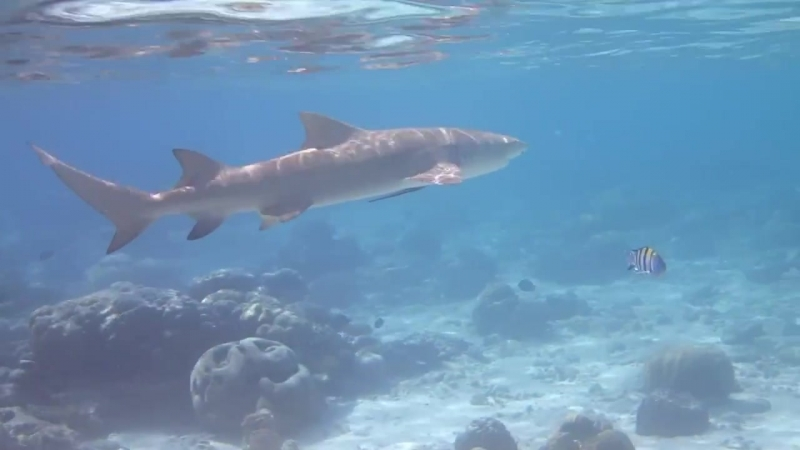 Мадагаскарская острозубая акула.