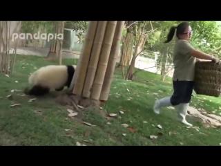 Дворник борется с пандами! Улыбнуло)