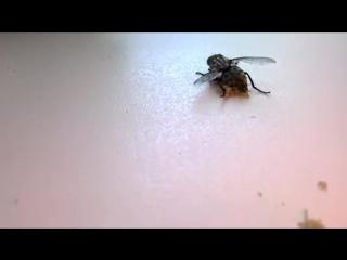 Из убитой мухи лезут её живые дети - опарыши)