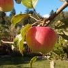 Плодовый и декоративный сад. Обрезка яблонь