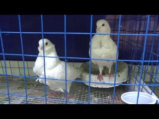 Выставка голубей в парке Луначарского, Гомель 2017 # 1 Exhibition of pigeons in  Gomel 2017 #1