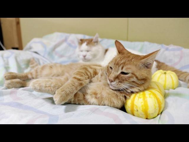 プッチーニかぼちゃ枕 Pumpkin pillow 171011