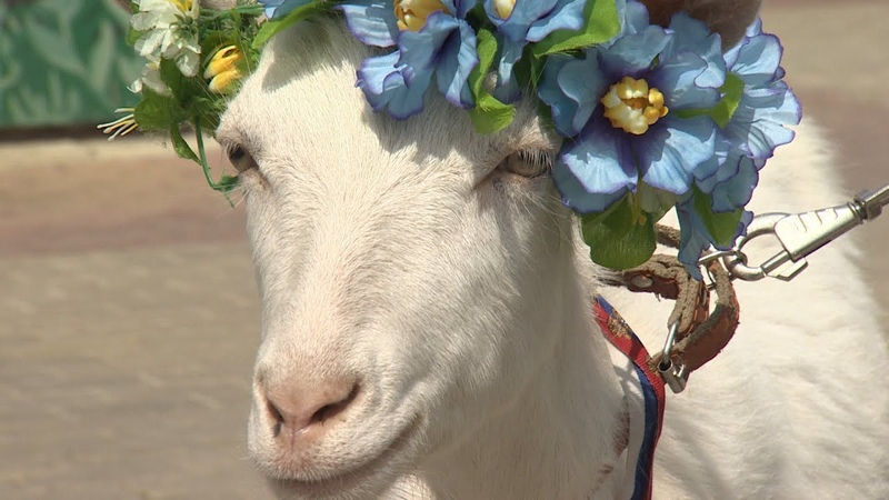 Прогноз за тарелку вкусняшек самарская коза Забияка предугадывает исход матчей ЧМ 2018