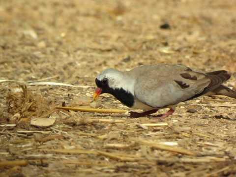 Namaqua Dove Oena capensis 11 3 2010 Lotan Israel