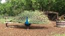 Paon Négripène Black Shoulder Peacock