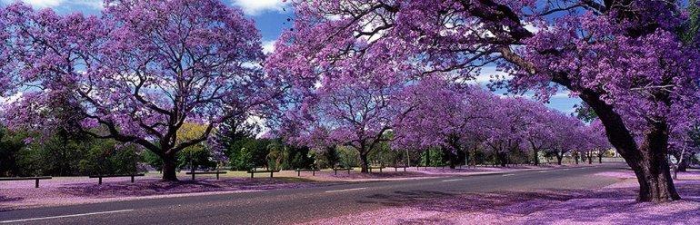 Цветение Жакаранды в Австралии, изображение №2