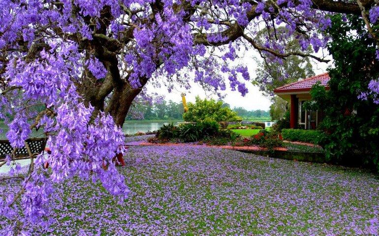 Цветение Жакаранды в Австралии, изображение №4